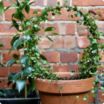 made with love: potted topiary