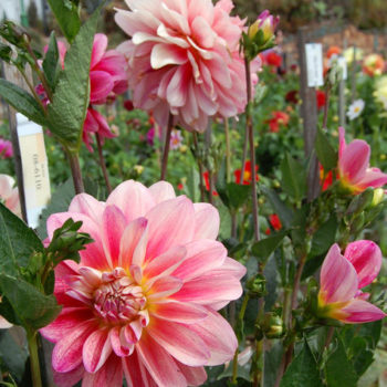 we like it wild: the dahlia dell