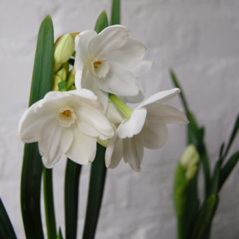 we like it wild: paperwhites