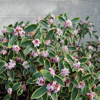 we like it wild: featured flower: daphne