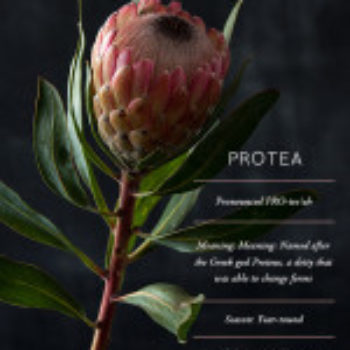 Flower Glossary: Protea