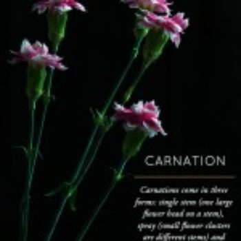 Flower Glossary: Carnation (Part 2)