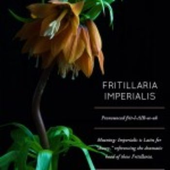 Flower Glossary: Fritillaria Imperialis