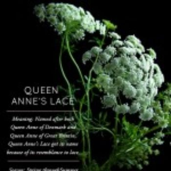 Flower Glossary: Queen Anne's Lace