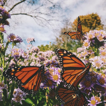 Monarch Butterflies + Best of the Week