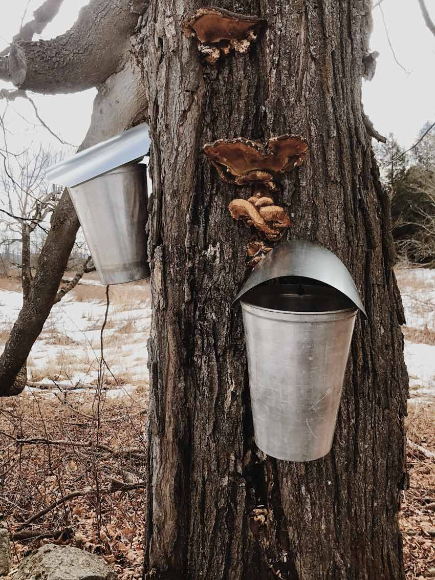 Tapped Maple Trees For Making Maple Syrup Dot The Vermont Property On Design*Sponge